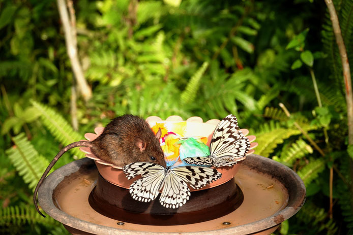 仲良く蜜を分け合うオオゴマダラと鼠?_d0149245_15423677.jpg