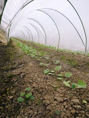 有機栽培の水田ごぼう 現在の発芽の様子と水田での栽培ならではのごぼうなんです!(後編)_a0254656_16225746.jpg