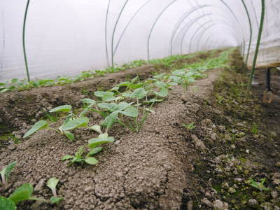 有機栽培の水田ごぼう 現在の発芽の様子と水田での栽培ならではのごぼうなんです!(後編)_a0254656_17001620.jpg