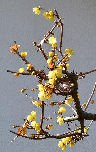 路傍の花、樹々の鳥(336) ~ 大寒に咲く ~_b0102572_1451127.jpg