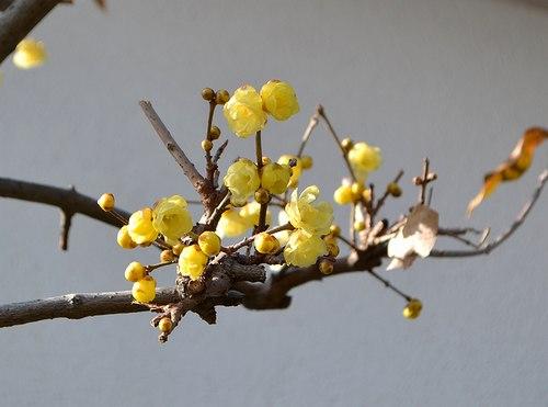 路傍の花、樹々の鳥(336) ~ 大寒に咲く ~_b0102572_1452282.jpg