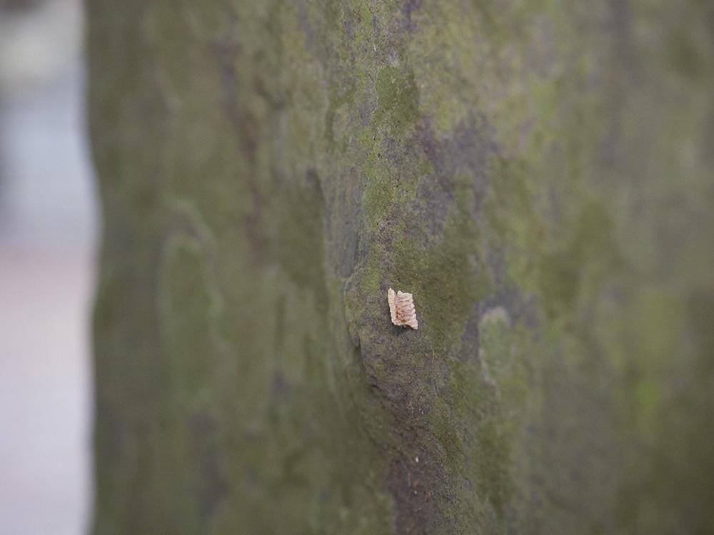 越冬昆虫観察-1 ヒナカマキリ卵鞘探しとタテジマカミキリ探し_f0324026_22074711.jpg