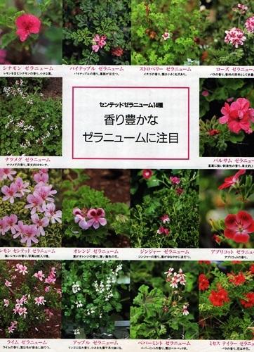 Geranio perfumado_e0365614_17422879.jpg