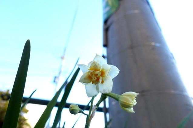 水仙が咲いていました_e0232277_11125060.jpg