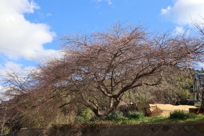 冬です!   冬桜_b0239402_15413602.jpg