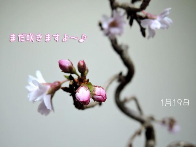 今日の黒岡さくら_c0062832_17054608.jpg