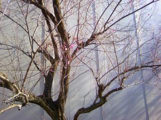 東京・清瀬でも梅の花が咲き始めちょります。_f0291565_10062272.jpg