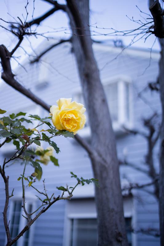 冬バラの咲く家_a0261169_16102146.jpg