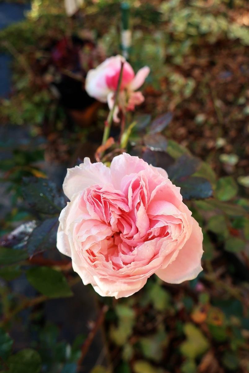 大寒のガーデンオブローゼス(薔薇)_a0107574_06492962.jpg