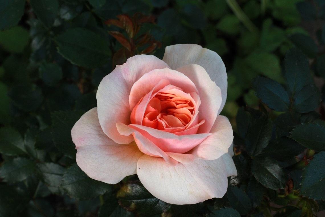 大寒のガーデンオブローゼス(薔薇)_a0107574_07172934.jpg