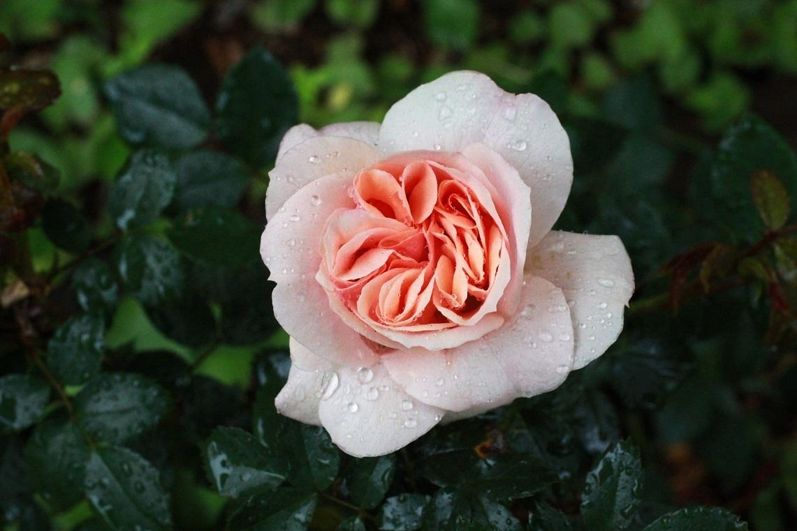 大寒のガーデンオブローゼス(薔薇)_a0107574_07174088.jpg