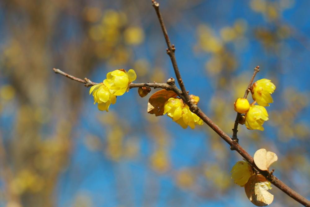 府中市 公園のロウバイが咲いた!前半_e0165983_12333247.jpg