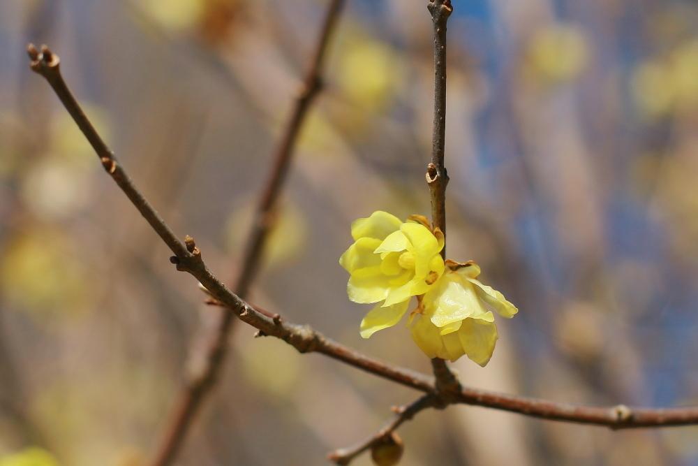 府中市 公園のロウバイが咲いた!前半_e0165983_12334442.jpg