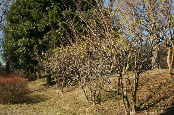 府中市 公園のロウバイが咲いた!前半_e0165983_12342346.jpg