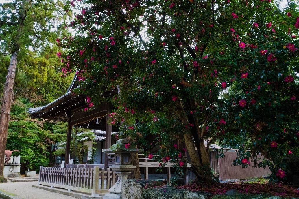 日牟礼八幡宮の山茶花&八幡山ロープウェー_e0363038_16425311.jpg