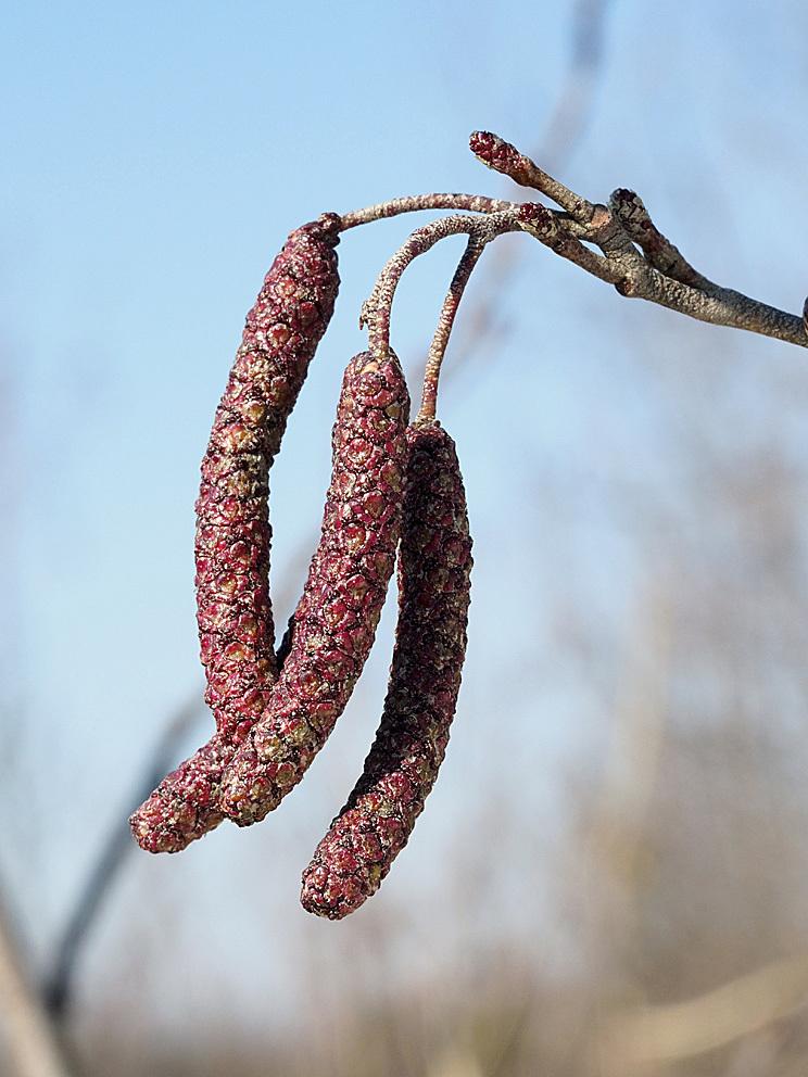 ハンノキの花芽~開花を観察_d0163696_19585369.jpg