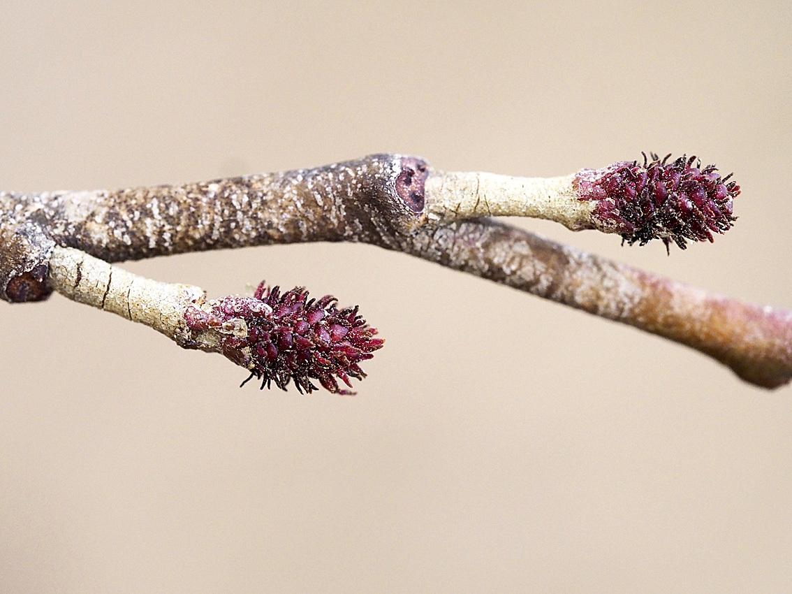 ハンノキの花芽~開花を観察_d0163696_19591142.jpg