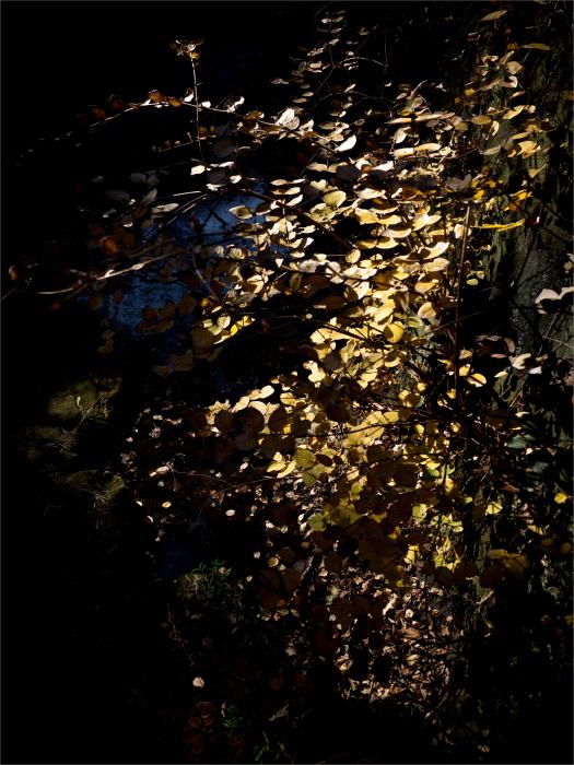 金泥色の黄葉。_b0022268_18284599.jpg