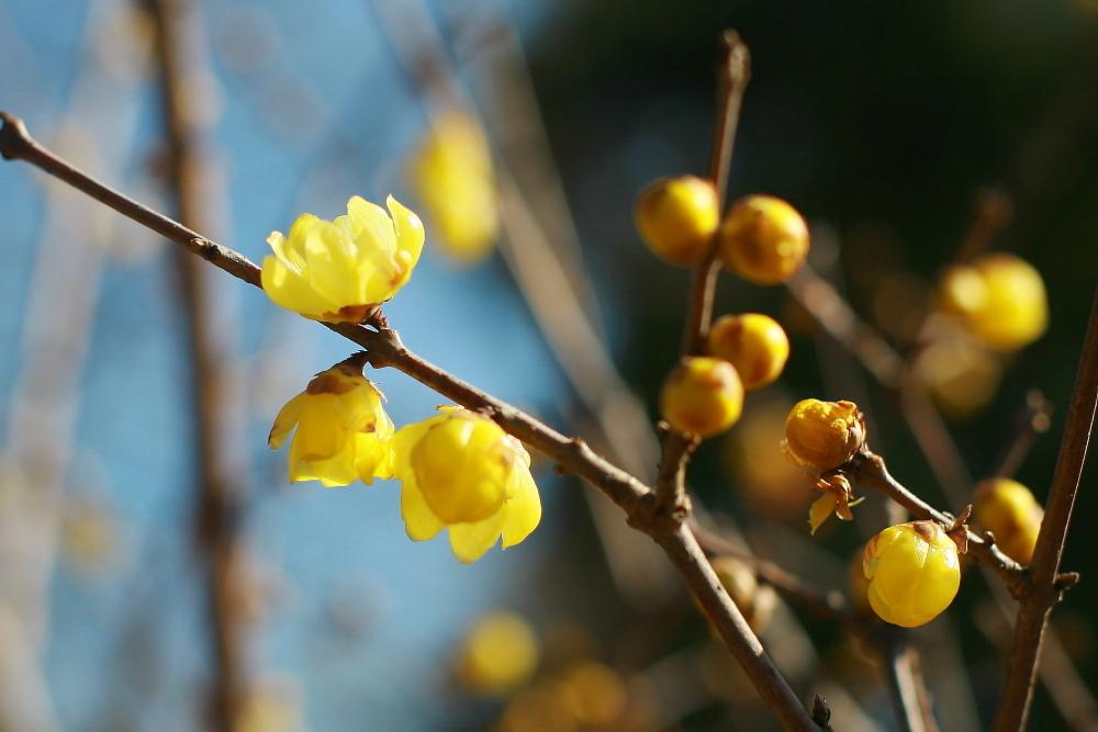 府中市 公園のロウバイが咲いた!後半_e0165983_10385147.jpg