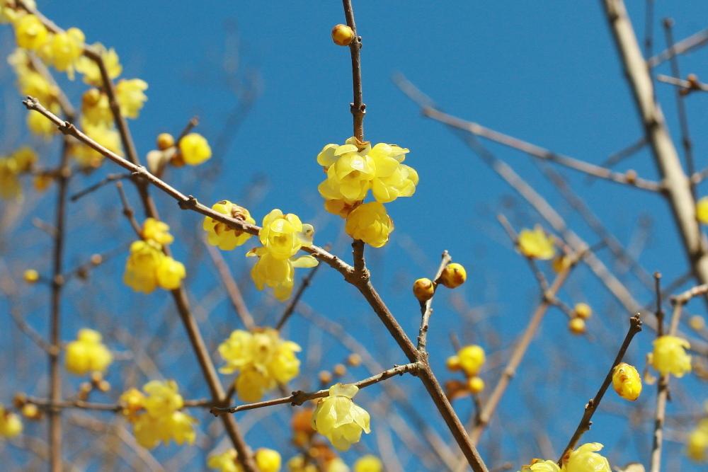 府中市 公園のロウバイが咲いた!後半_e0165983_10390776.jpg