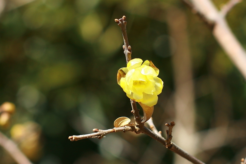 府中市 公園のロウバイが咲いた!後半_e0165983_10391626.jpg