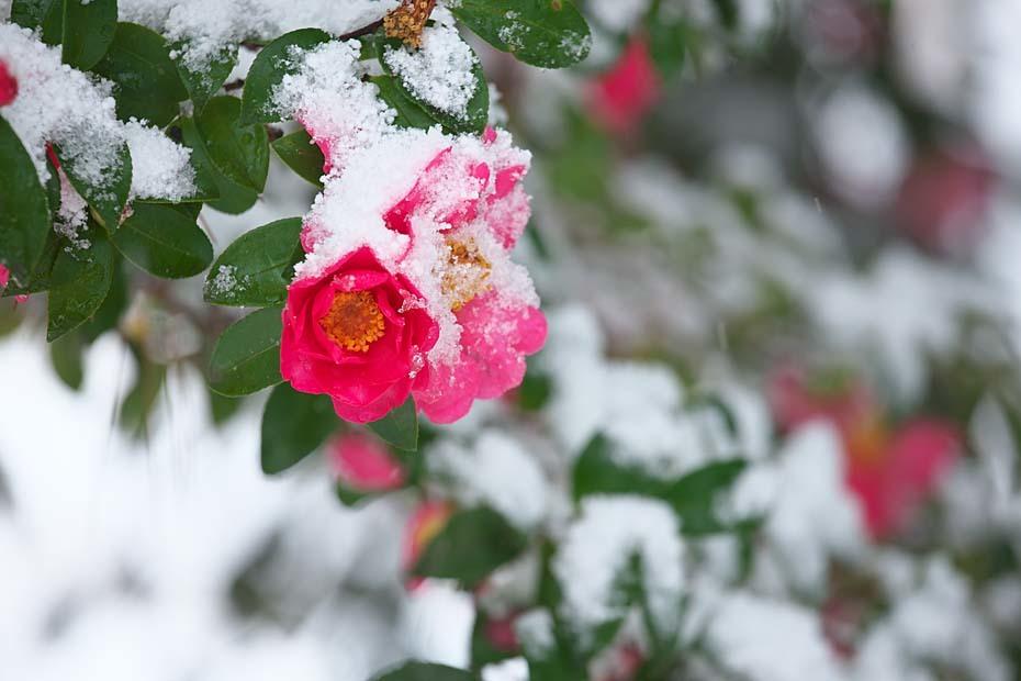 雪山茶花_c0067040_22412010.jpg