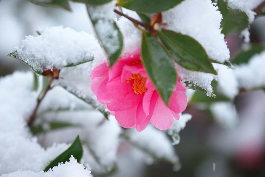 雪山茶花_c0067040_22414133.jpg