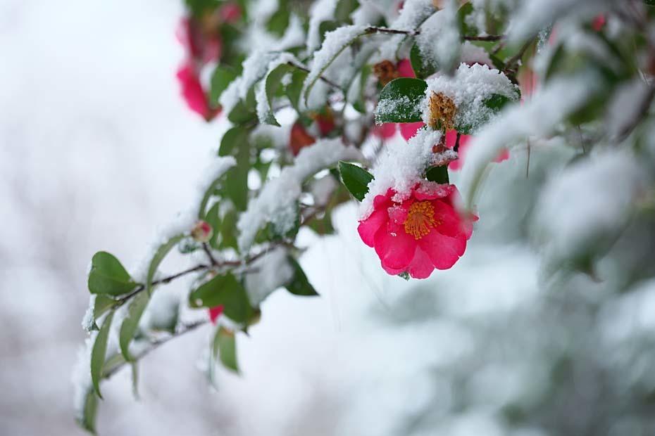 雪山茶花_c0067040_22421802.jpg