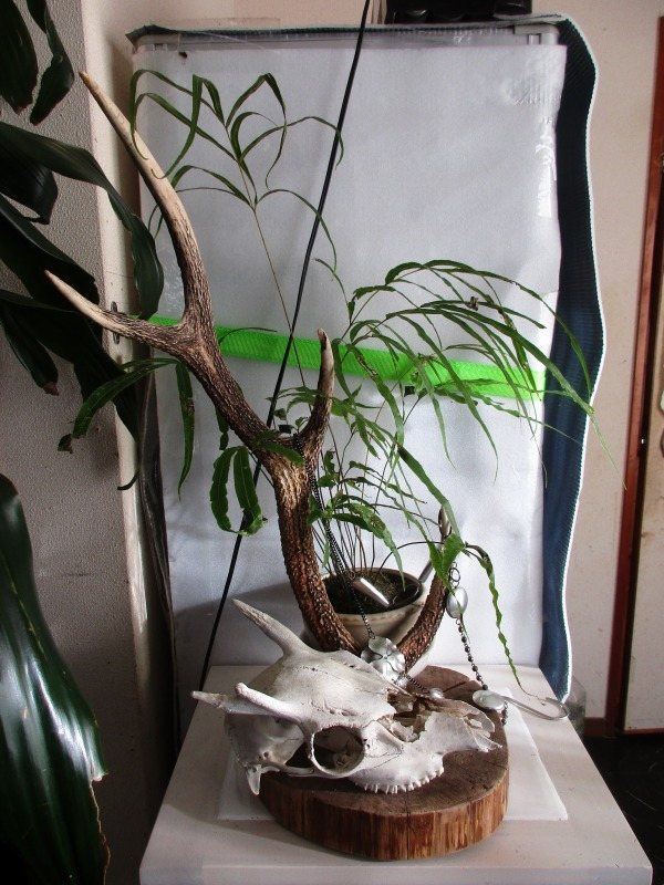 植物「フィカス・ウンベラータ & シッサス・エレンダニカ追加」_b0362459_12455311.jpg