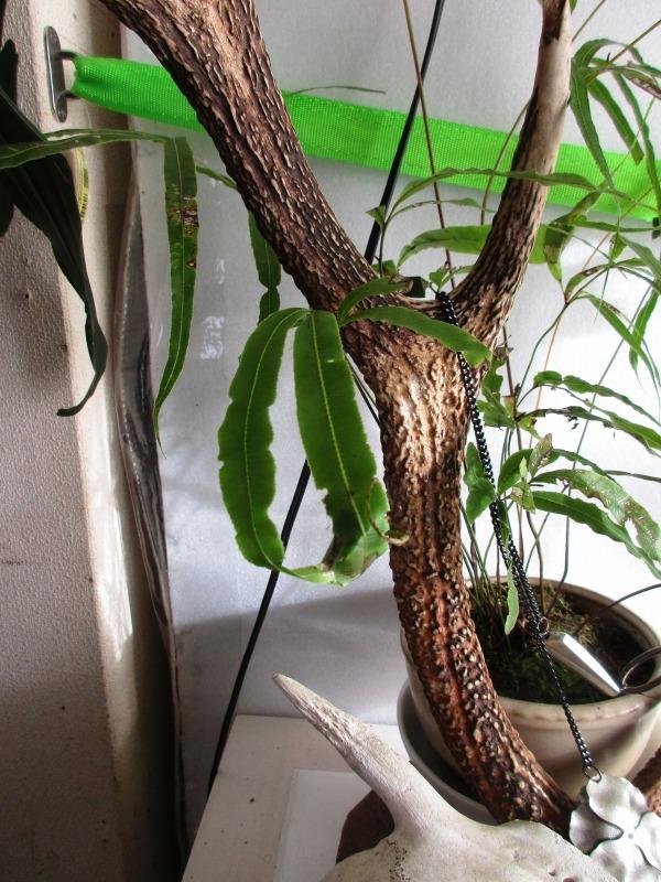 植物「フィカス・ウンベラータ & シッサス・エレンダニカ追加」_b0362459_12474399.jpg