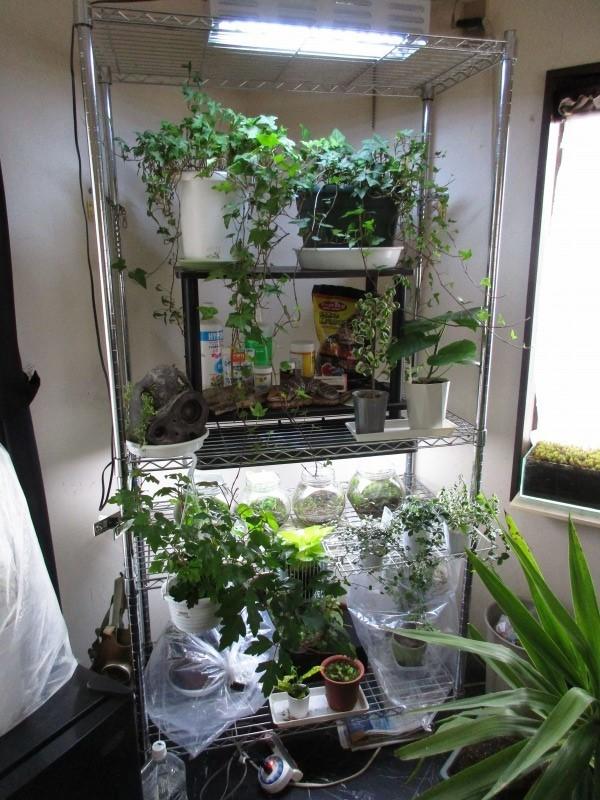 植物「フィカス・ウンベラータ & シッサス・エレンダニカ追加」_b0362459_13075958.jpg