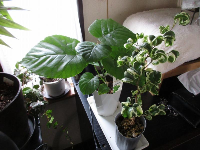 植物「フィカス・ウンベラータ & シッサス・エレンダニカ追加」_b0362459_13251658.jpg