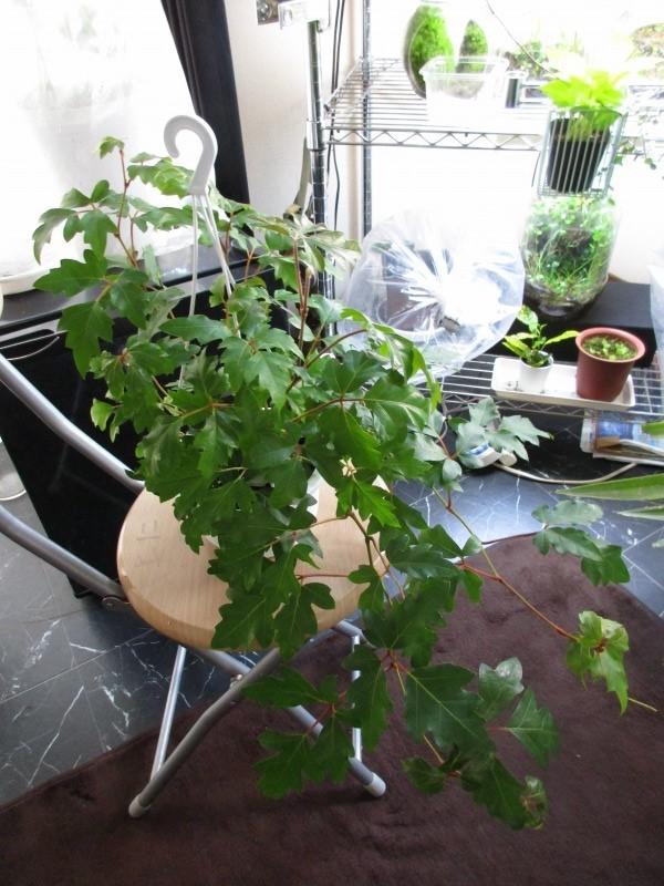 植物「フィカス・ウンベラータ & シッサス・エレンダニカ追加」_b0362459_13284863.jpg