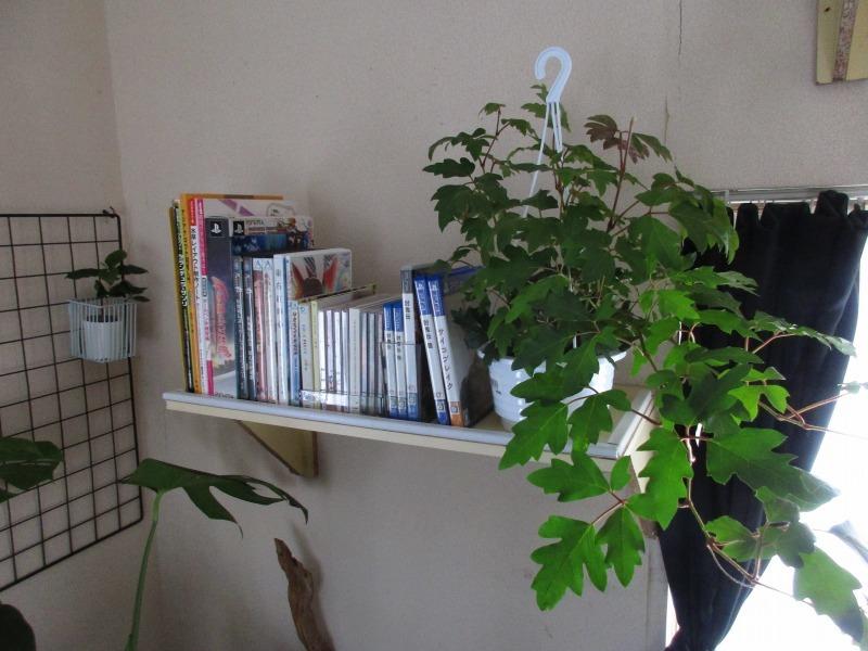 植物「フィカス・ウンベラータ & シッサス・エレンダニカ追加」_b0362459_13333913.jpg