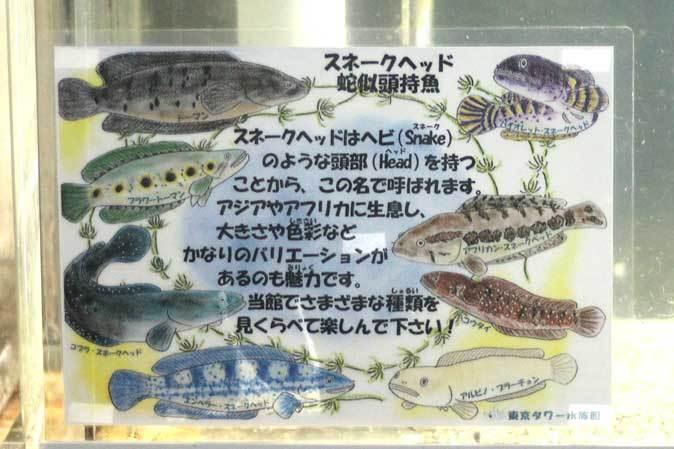ド迫力!スネークヘッドとオバケ鯉・パーカーホ(東京タワー水族館)_b0355317_21341743.jpg