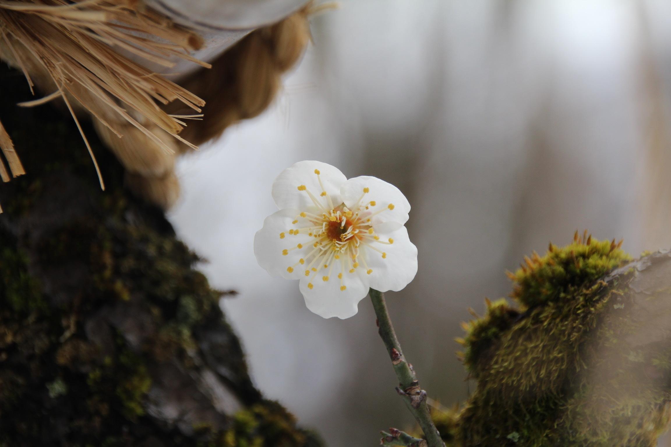 高岡古城公園の梅_b0132338_15425484.jpeg