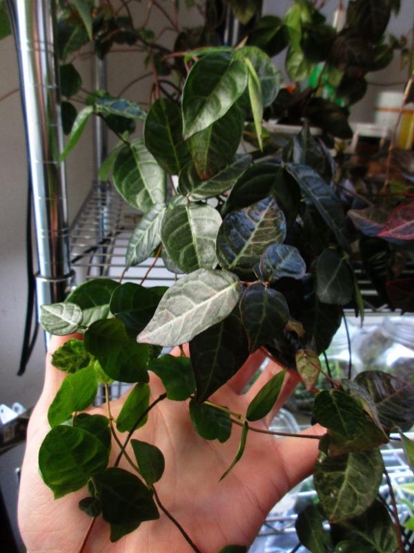 植物「サンスベリアの葉挿し」_b0362459_10055945.jpg