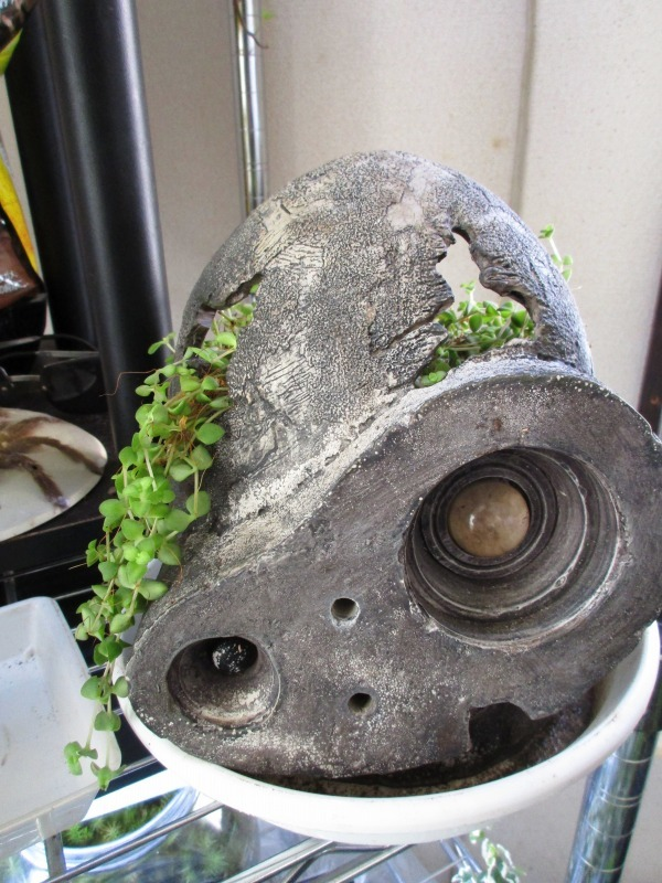 植物「サンスベリアの葉挿し」_b0362459_10192773.jpg