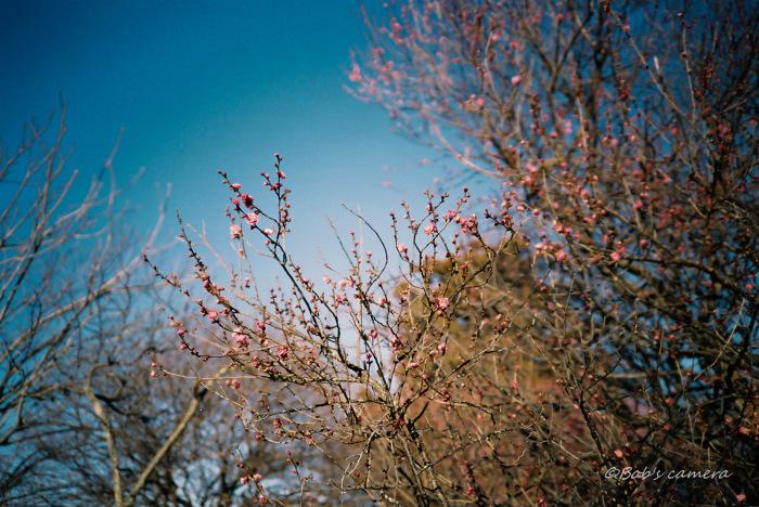 梅の花_b0246079_19050743.jpg