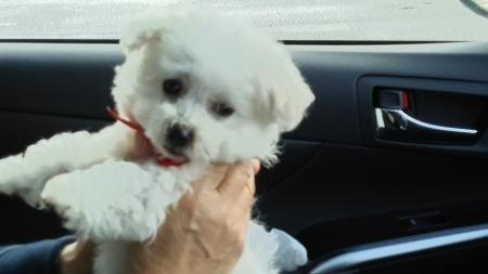 新しい家族犬(ビジョンフリーゼ) 小春ちゃん_f0114128_14585652.jpg