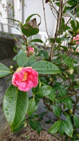 山茶花と蠟梅_f0331145_00472408.jpg