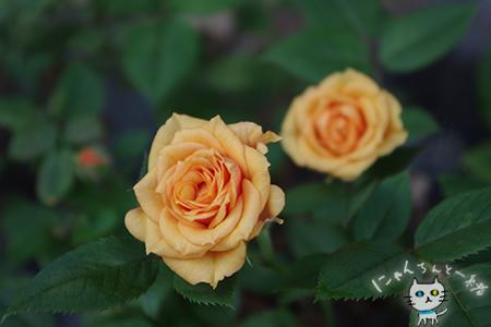 ミニ薔薇と紫陽花_e0031853_15573203.jpg