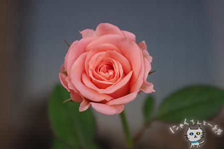 ミニ薔薇と紫陽花_e0031853_15573361.jpg