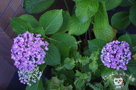ミニ薔薇と紫陽花_e0031853_15581324.jpg