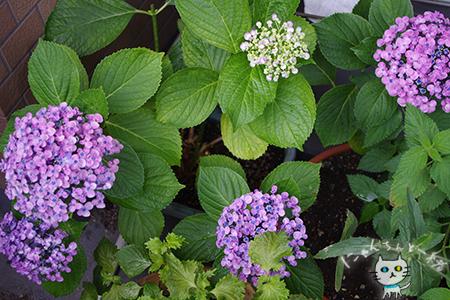 ベランダの紫陽花_e0031853_16030040.jpg