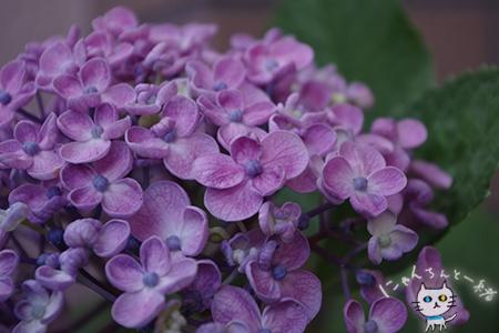 ベランダの紫陽花_e0031853_16031206.jpg