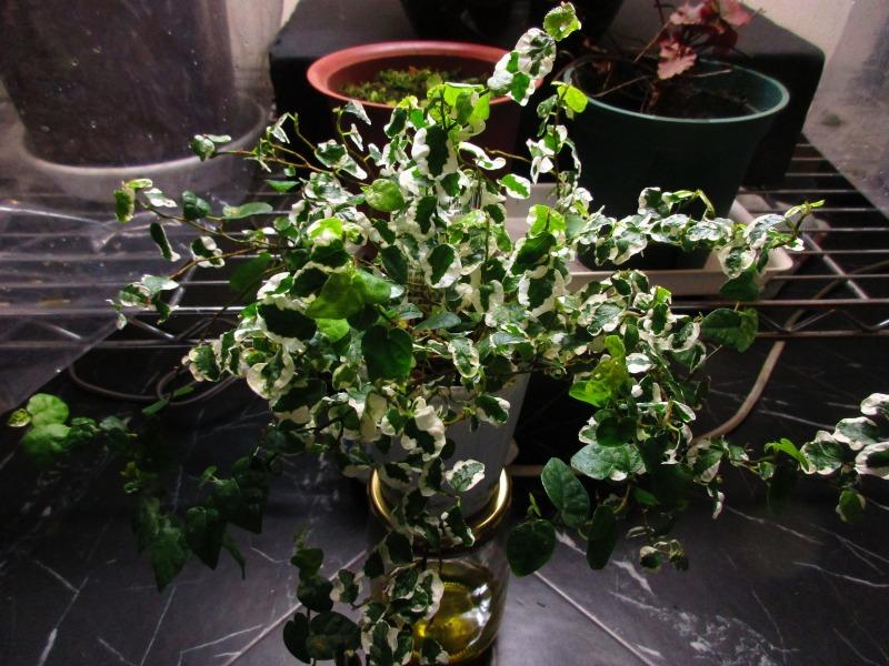 植物「Vine」_b0362459_21333695.jpg