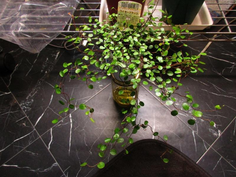 植物「Vine」_b0362459_21364265.jpg