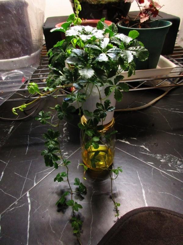 植物「Vine」_b0362459_21382188.jpg