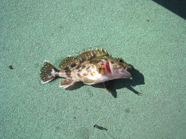 天草大多尾漁港へアラカブ釣りに行く _a0278866_11551691.jpg
